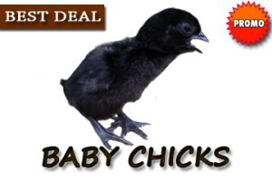 Baby Chick Day Old Chicken