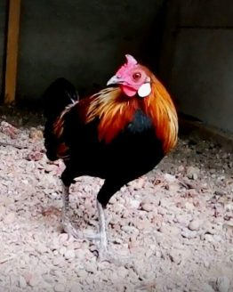 Red Jungle Fowl