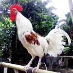 ayam ketawa the laughing chicken