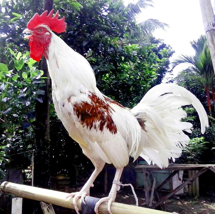 ayam ketawa the laughing chicken