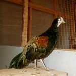 Green Jungle Fowl