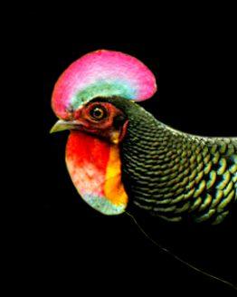 green-jungle fowl
